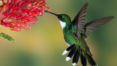 sn-hummingbirdH
